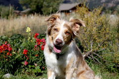 Portrait of a red merle Aussie outside Royalty Free Stock Images