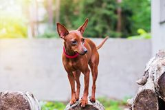 Portrait of red miniature pinscher dog. Outdoor portrait of a miniature pinscher dog royalty free stock photo