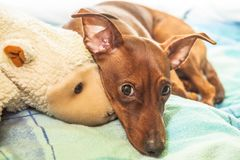 Portrait of red miniature pinscher with plushi ice bear. On carpet royalty free stock photography