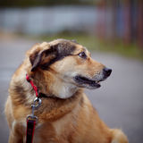 Portrait of a red not purebred dog. Stock Images