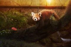 Portrait of a Red Panda, Ailurus fulgens Stock Images