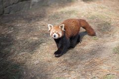 Portrait of a Red Panda, Ailurus fulgens Royalty Free Stock Images
