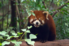 Portrait of a Red Panda. Stock Photo