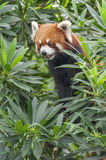 Portrait of Red Panda, Firefox Royalty Free Stock Photos