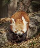 Red panda on log. Portrait of red panda on tree on sunny day Stock Photo