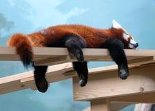 Portrait of a red panda & x28;Ailurus fulgens& x29; Royalty Free Stock Photography
