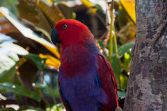 Portrait of red parrot Royalty Free Stock Image