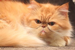 The portrait of red persian cat close-up Royalty Free Stock Image