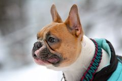 Portrait of a red pied French Buldog in winter coat in front of blurry snow background
