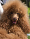 Portrait of red poodle Royalty Free Stock Photos