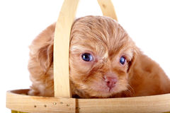 Portrait of a red puppy of a decorative doggie in a  basket. Royalty Free Stock Photos