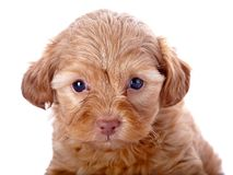 Portrait of a red puppy Royalty Free Stock Photography