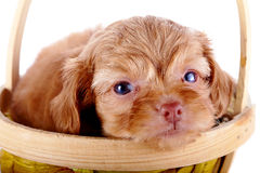 Portrait of a red puppy of a decorative doggie in a yellow basket. Royalty Free Stock Image