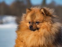 Portrait of puppy Spitz on the background nature. Portrait of red puppy Spitz on the background of nature royalty free stock images