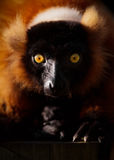 Portrait Of Red Ruffed Lemur Royalty Free Stock Photos