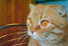 Portrait of a red Scottish Fold cat. Portrait of a curious red-haired striped Scottish Fold cat Stock Images