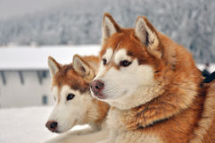 Portrait of red siberian husky dogs royalty free stock image