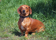 Portrait red smooth-haired dachshund Stock Photos