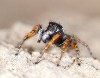 Portrait of red spider jumper Royalty Free Stock Image