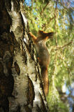 Portrait of red squirrel Royalty Free Stock Photo