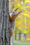 Portrait of a red squirrel Stock Photos