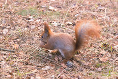 Portrait of red squirrel in front of white background Royalty Free Stock Photos