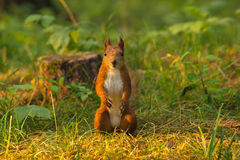 Portrait of red squirrel in front of white background Royalty Free Stock Images