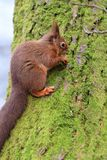 Red squirrel sciurus vulgaris stock image