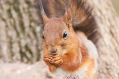 Portrait of a red squirrel with a sunflower seed in paws Stock Photos
