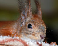Portrait of a red squirrel Stock Photography