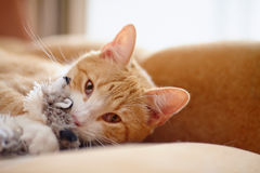 Portrait of a red striped cat with a toy. Royalty Free Stock Images