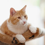 Portrait of a red striped cat. Stock Photos