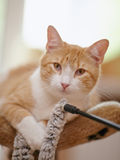 Portrait of a red striped cat. Royalty Free Stock Image