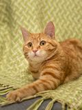 Portrait of a red cat on a green plaid in a cage. Portrait of a red tabby cat on a green plaid in a cage. He prepared to grab the toy. His gaze follows her Royalty Free Stock Image