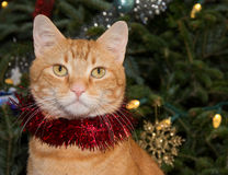 Portrait of a red tabby cat wearing red tinsel Stock Image