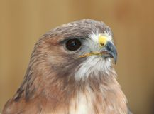Portrait of A Red Tailed Hawk. With light brown background stock images