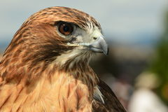 A portrait of a Red-Tailed Hawk Stock Image