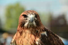 A portrait of a Red-Tailed Hawk Royalty Free Stock Photos
