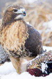 Portrait of red tailed hawk with prey Stock Photo
