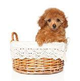 Toy poodle puppy in wicker basket. Portrait of a red Toy Poodle puppy on white background. Baby animal theme royalty free stock photo