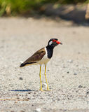 The portrait of Red-wattled Lapwing bird Royalty Free Stock Photos