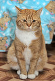 Portrait of a red and white cat Royalty Free Stock Images