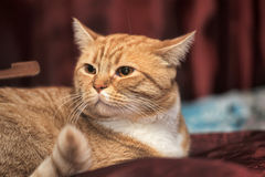 Portrait of a red and white cat Stock Photo