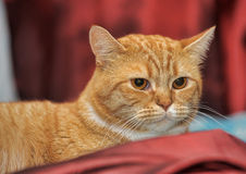 Portrait of a red and white cat Stock Photos