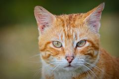 Portrait of red and white haired cat Stock Images