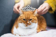Portrait of red white Norwegian home cat with princess crown on head.  stock image