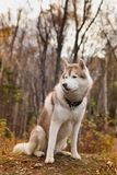 Portrait of Beige Siberian husky dog is sitting on the hill in the fall forest. Portrait of red and white Siberian husky dog is sitting on the hill in the bright Royalty Free Stock Image