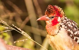 Portrait of a Red-and-yellow Barbet Royalty Free Stock Image