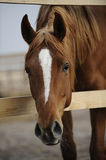 Portrait of a red young filly. In the paddock stock photos