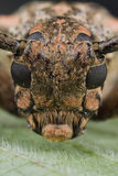 Portrait of a reddish longhorn beetle Stock Photos
